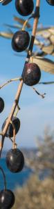Olives Oliu di Corsica
